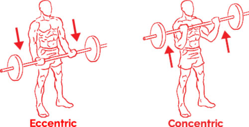 Bicep Curl Example Concentric and Eccentric